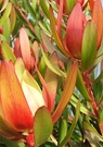 Red Leucadendron Leaves