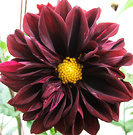 Red Purple Dahlia