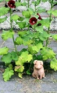 Seeders Hollyhock Pig