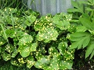Variegated Ligularia Spotty