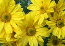 Wet Yellow Chrysanthemum