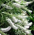 White Hebe Shrub