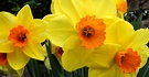 Yellow Daffodils Orange Trumpet