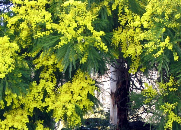 Native australian yellow flower tree flowers healthy beautiful flowers 2019 australian acacia tree with yellow ball shaped flowers beautiful flowers mightylinksfo