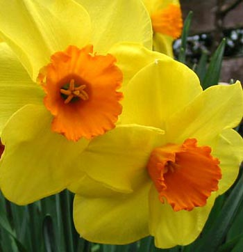 plant Graphics and download thousands offree daffodil art, simple five