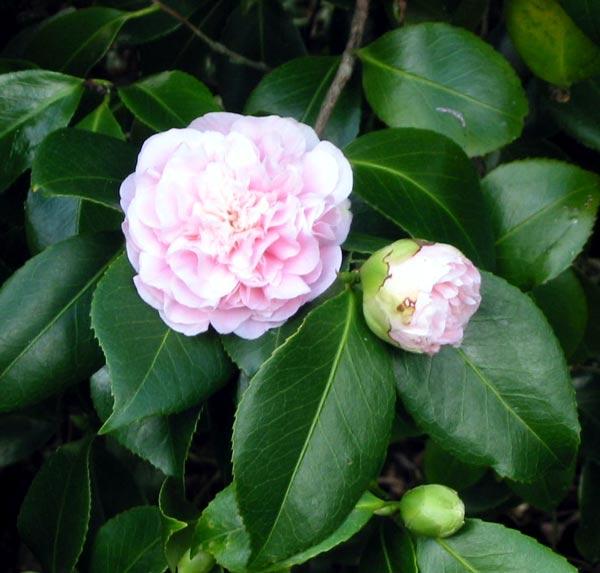 Camellias - Camelia planta ...