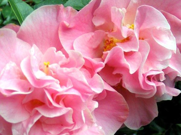 Flower Camellia
