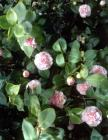 Baby Pink Camellia