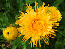 Flower Calendula Yellow