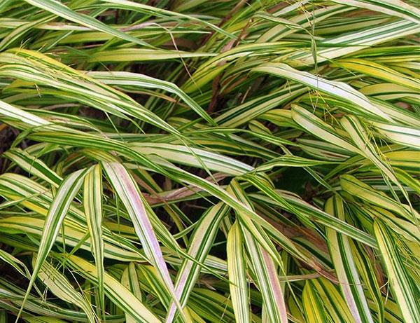 Foliage plants for Garden grass plants