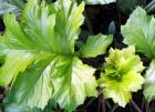 Acanthus Light Green