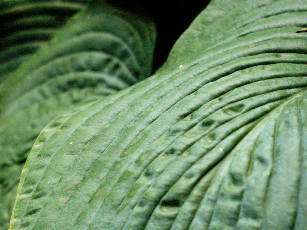 Hosta plant gallery for Green plants for garden