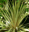 Cordyline Albertii Pot