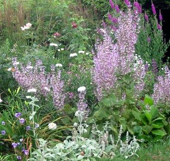 http://images.mooseyscountrygarden.com/garden-plants/perennial-plants/clary-sage-border.jpg