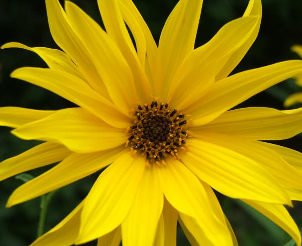 http://images.mooseyscountrygarden.com/garden-plants/perennial-plants/daisy-flower-helenium.jpg