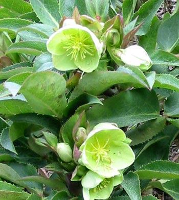 Mooseyscountrygarden com images garden plants perennial plants