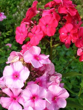 Phlox Pink Flower Aquilegias