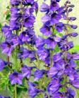 Blue Delphiniums Woodshed