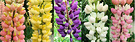 Coloured Lupins