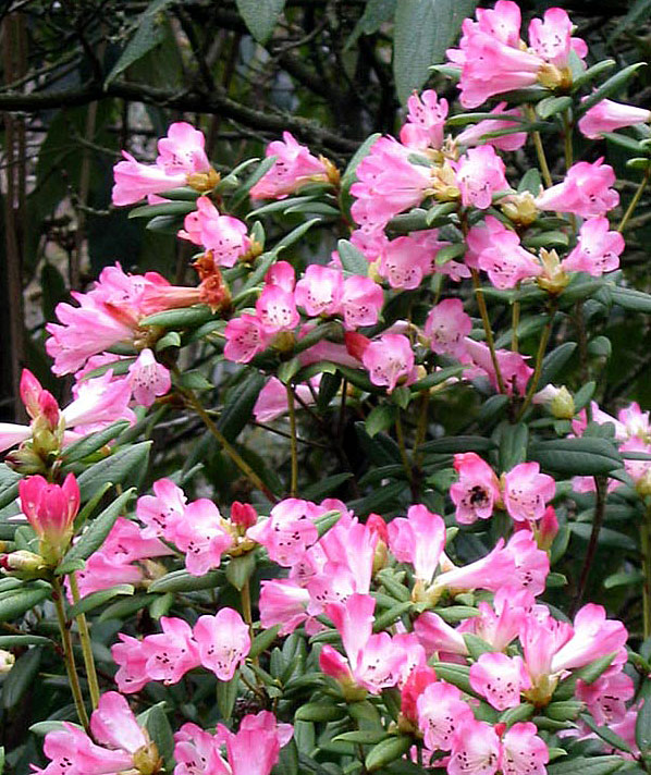 Festival celebrations latest videos of pink azalea for Garden plant information