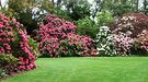 Dalkeith Lawn Rhododendron