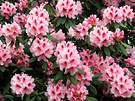 Dalkeith Rhododendron 1