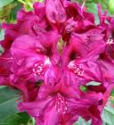Magenta Rhododendron