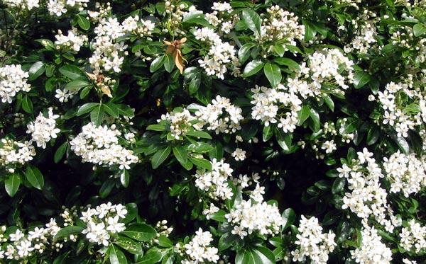 Shrubs choisya shrub white flower mightylinksfo