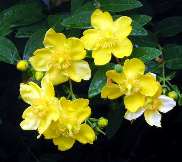 Shrubs - Trees that bloom yellow flowers ...