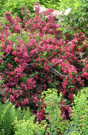 Landscaping Shrubs With Pink Flowers : Shrubs page mooseyscountrygarden com images garden plants