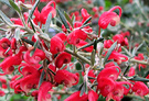 Australian Red Shrub