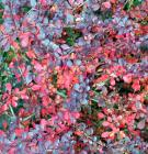 Autumn Berberis Detail