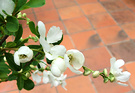 Bride Shrub Exochorda