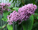 Buddleia Species Flower