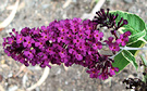 Buddleia Variegated Flower