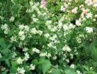 Philadelphus Rose Fern