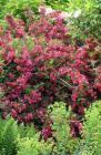 Red Shrub Weigela