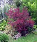 Smoke Bush Border