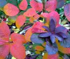 Smoke Bush Red