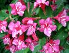 Weigela Flower