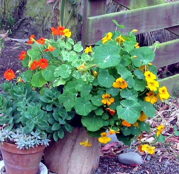 http://images.mooseyscountrygarden.com/garden-plants/succulents/pots-fence-nasturtium.jpg
