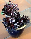 Aeonium Black Pot