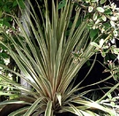 Cordyline Variegated Pot