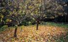 Cherry Tree Autumn Leaves
