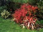 Flame Colour Berberis Red Flax