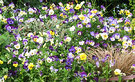 2002 Pansy Flowers