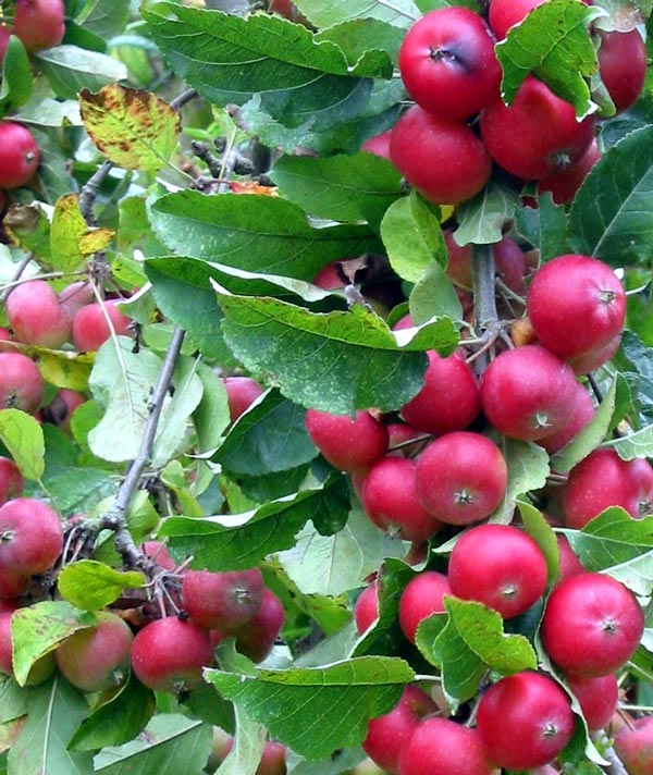 Crab apple autumn