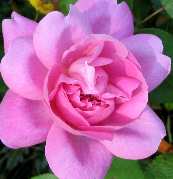 mary rose flower