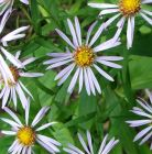Aster Pale Blue
