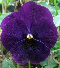 Pansy Dusty Blue
